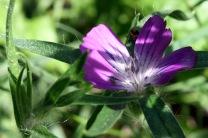 Corncockle (Agrostemma githago)