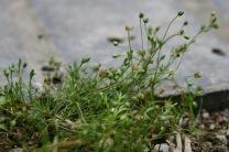 Pearlwort (Sagina procumbens)