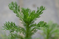 Pineappleweed (Matricaria discoidea)