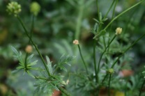Bulbous buttercup (Ranunculus bulbosus) - sadly there were no flowers when I took the photo, I will update!