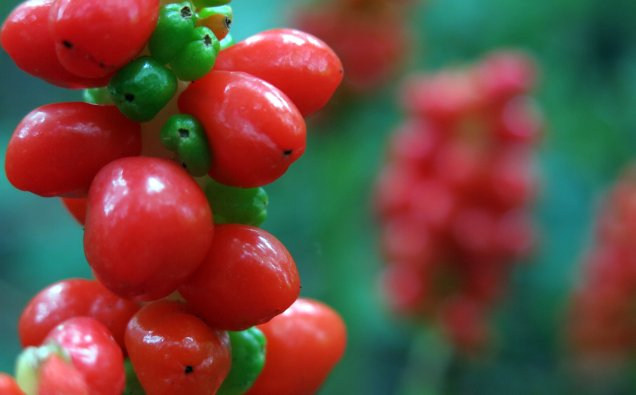 Arum lily berries with the smaller, younger green berries set within the rich red of the ripe ones