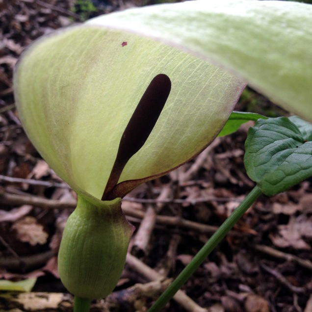 Arum Lily showing the purple Spadix within the creamy white spathe
