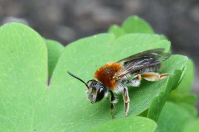 An early mining bee (Andrena haemorrhoa) photographed in my garden