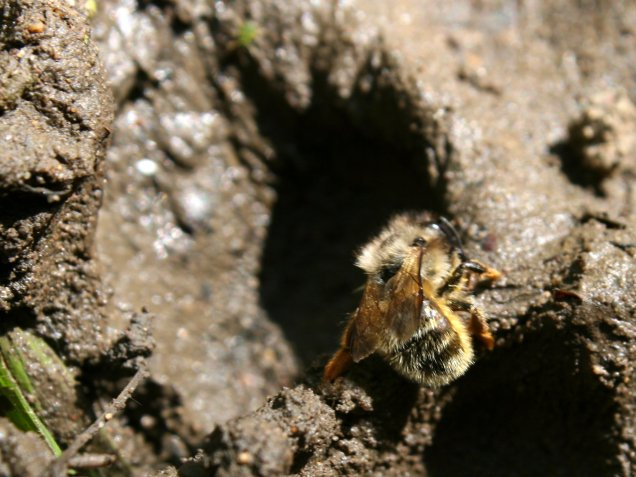 A red mason bee (Osmia rufa) gathering mud from the bank of the River Witham in Grantham