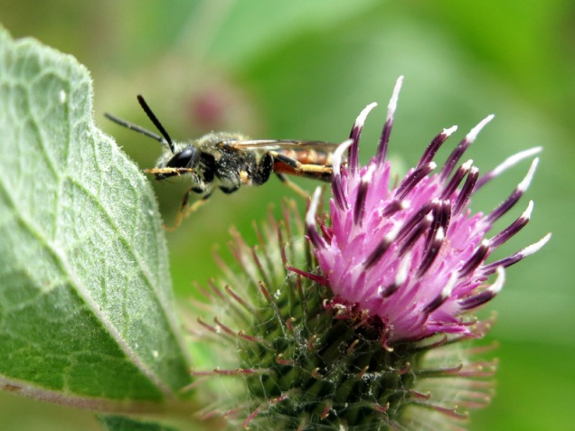 A male Lasioglossum calceatum solitary bee on a burdock flower - distance is relative!