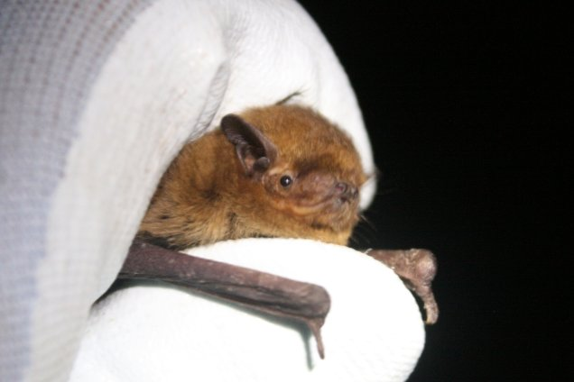 A soprano pipistrelle bat in a gloved hand