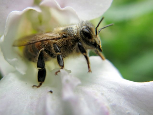 Honey bee (Apis mellifera) leaving a Himalayan balsam flower