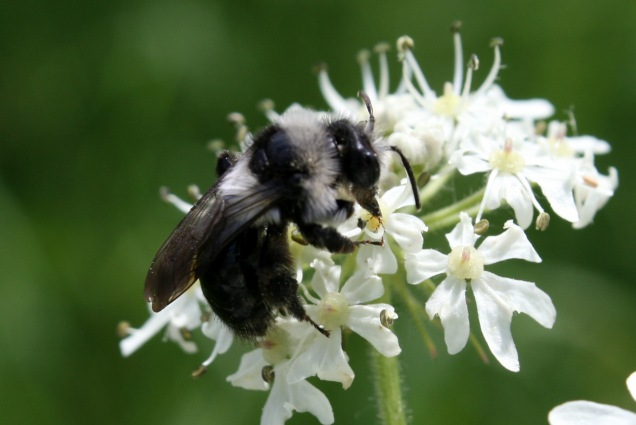 An ashy mining bee (Andrena cineria) visiting a hogweed flower along Grantham Canal