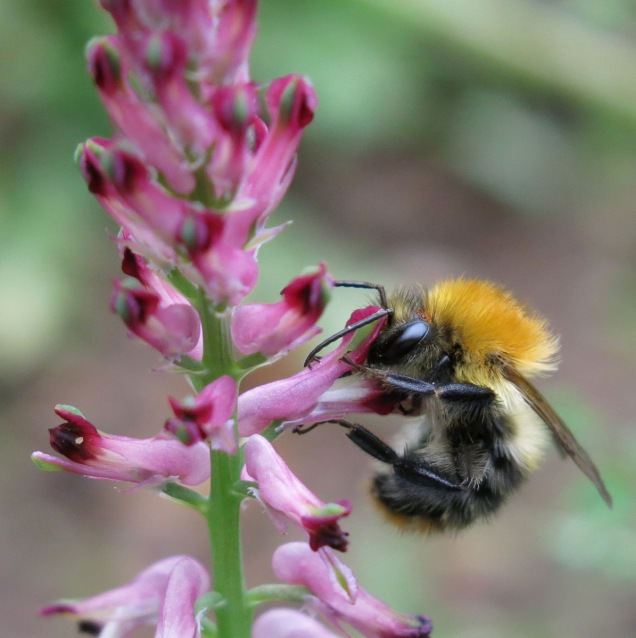 Common carder bumblebee (Bombus pascuorum) feeding at a fumitory flower