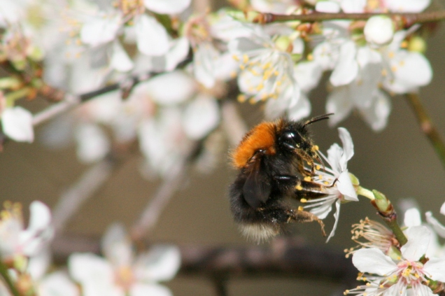 The first bumblebee I tried to ID - the tree bumblebee (Bombus hypnorum)