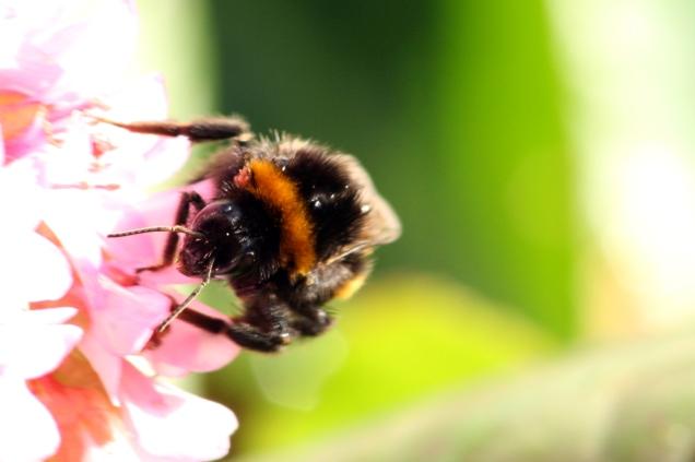 A queen garden bumblebee (Bombus hortorum)
