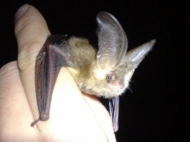 The brown long-eared bat is named for quite obvious reasons!