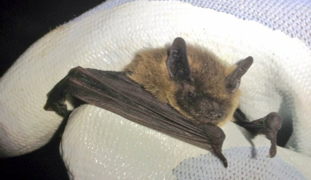 The Common Pipistrelle is one of the smallest but certainly the commonest bat species in the UK