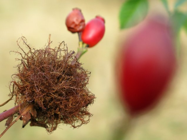 Bedeguar Gall or Robin's Pincushion