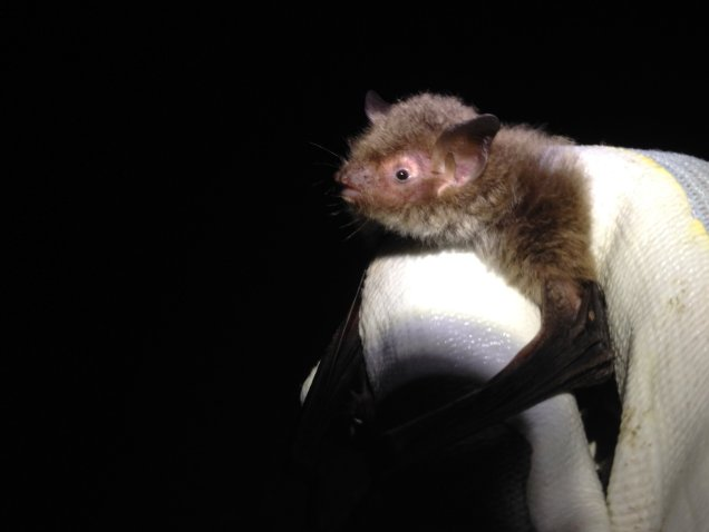 A Daubenton's bat - the myotis species most frequently associated with water. The myotis bats are larger than the pipistrelles but not as big as the noctule.