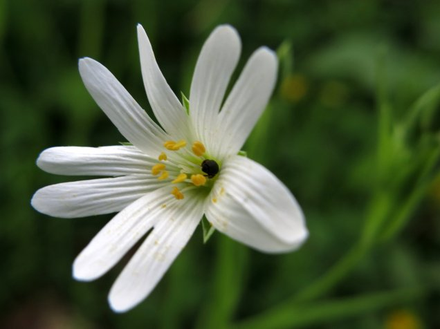 Greater stitchwort flourished in the hedgerows around, as well as within Tortoiseshell Wood itself