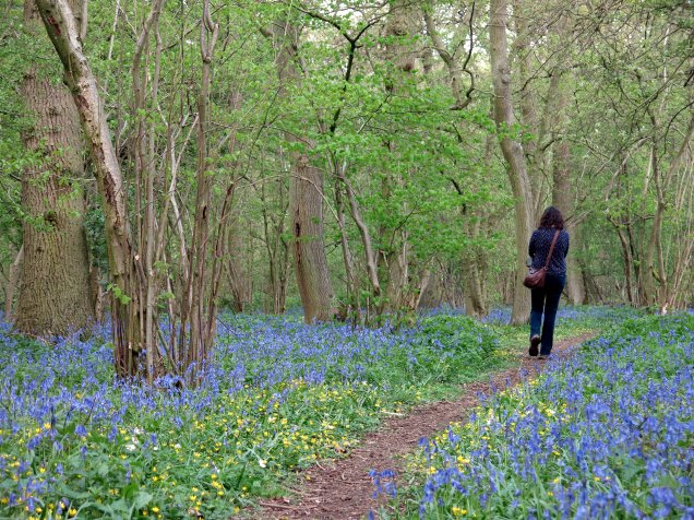 Bluebells and celendines lining the path at Tortoiseshell Wood - a Lincolnshire Wildlife Trust site
