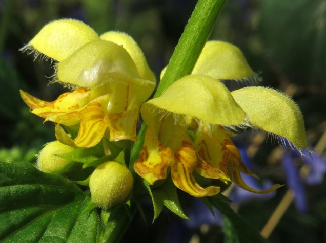 The orange-flecked, chick-yellow flowers of yellow archangel
