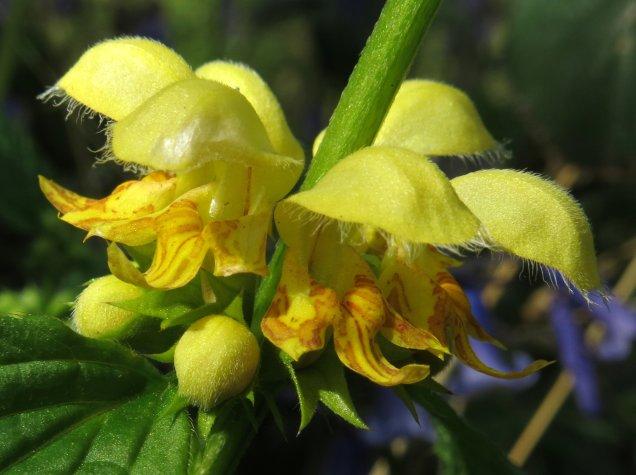 The orange-flecked, chick-yellow flowers of yellow archangel
