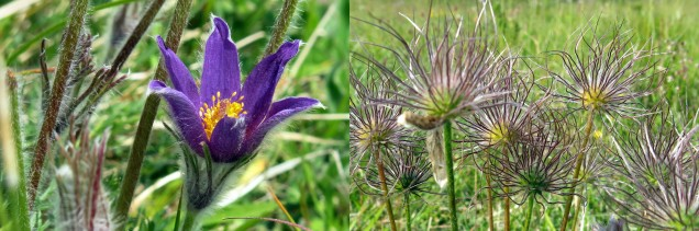 This shows one very late pasque flower, along with the many seed heads from earlier blooms.