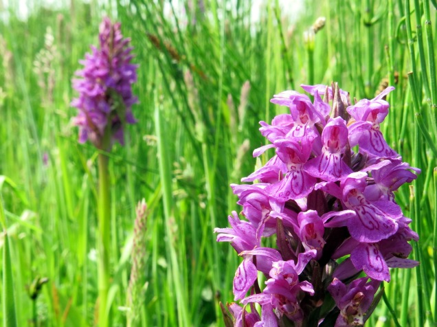 Southern marsh orchids at Wansford Pasture.