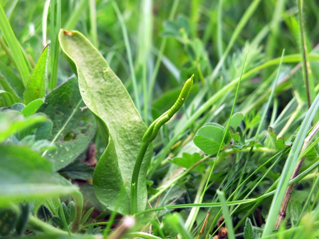 Adder's tongue fern at Cribb's Meadow NNR