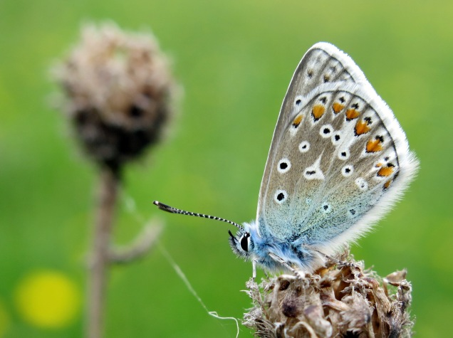 Common blue butterfly resting on a common knapweed seedhead at Cribbs Meadow NNR.