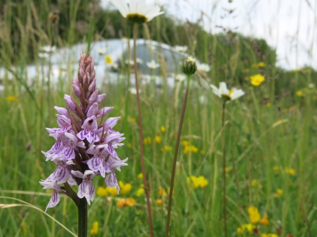 Common spotted orchids flourishing on the protected South Witham Verges nature reserve, owned by the Lincolnshire Wildlife Trust