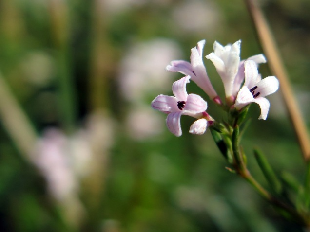Squinancy wort - Asperula cynanchica