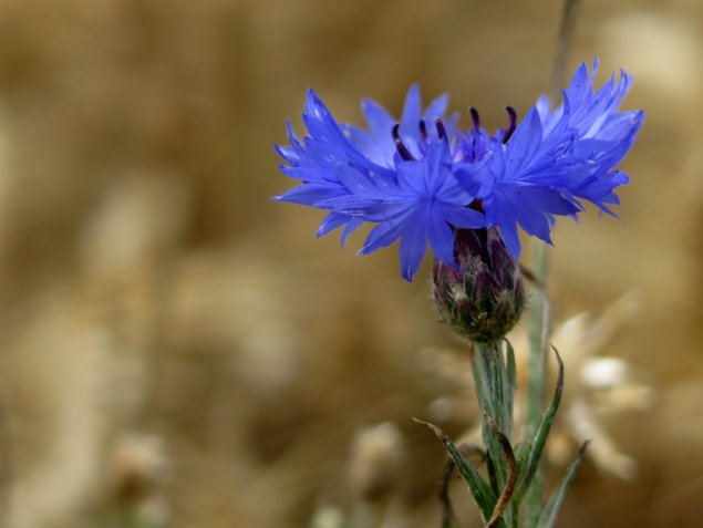 The incredible midnight-blue cornflower against a backdrop of wheat
