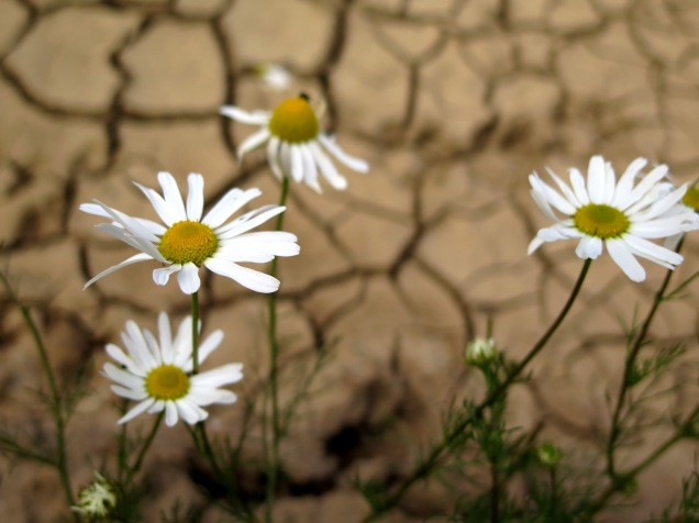 The yellow and white daisy-like flowers of mayweed in a parched, arable field
