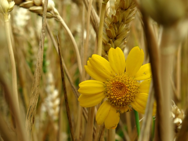 Corn marigold growing amongst the ears of wheat