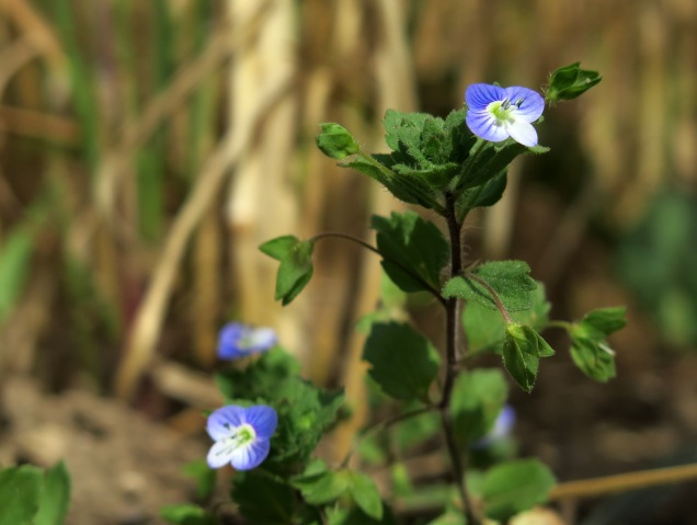 Field speedwell flowering in August, shortly before the harvest and the plough