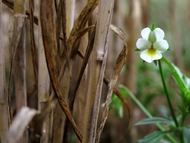 The small, subtle cream flowers of field pansy growing at the base of a wheat field