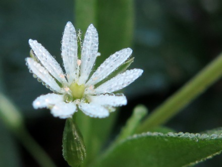 Lesser stitchwort (Stellaria graminea) flowering in October
