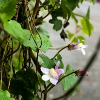 Ivy-leaved Toadflax - Cymbalaria muralis