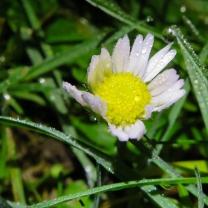 Daisy - Bellis perennis