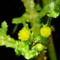 Groundsel - Senecio vulgaris