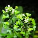 Shephard's purse (Capsella bursa-pastoris)