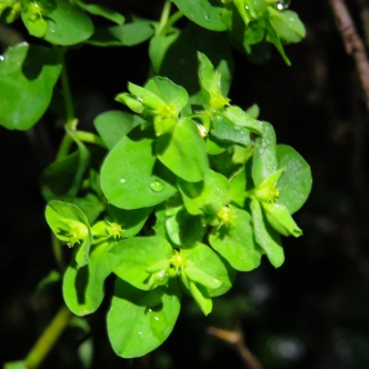 Petty spurge - Euphorbia peplus