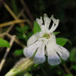 White campion - Silene latifolia