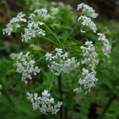 Cow parsley - Anthriscus sylvatica
