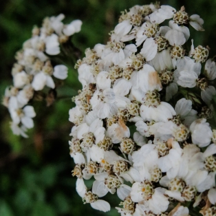 Yarrow - Achillia millefolium
