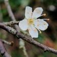 Blackthorn - Prunus spinosa