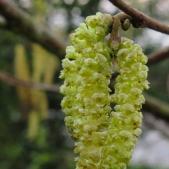 Hazel - Corylus avellana - male catkin