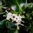 Holly - Ilex aquifolium