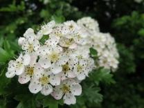 Hawthorn - Crataegus monogyna