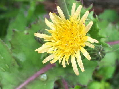 Smooth sow thistle