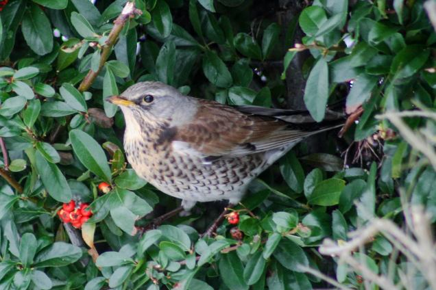 Fieldfare feeding on cotoneaster berry