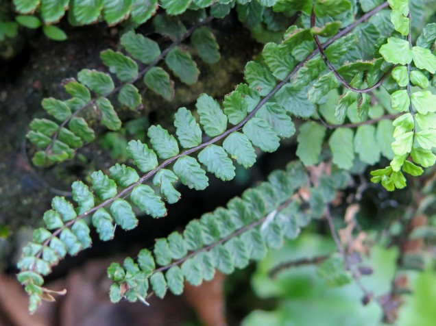 maidenhair_spleenwort_image